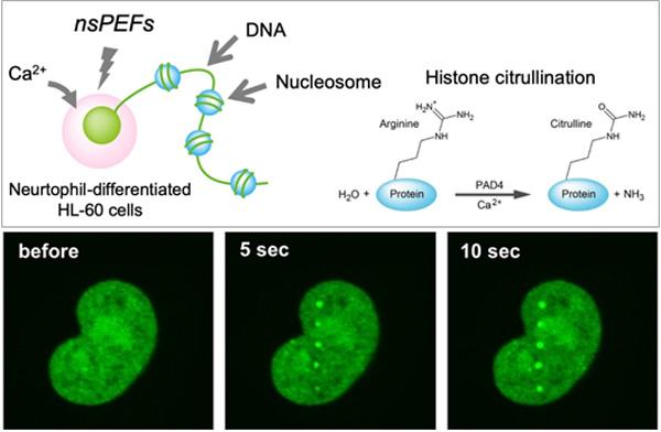 UVパルスレーザー照射によるDNA切断部位に秒単位で集まる損傷応答タンパク質のライブイメージング
